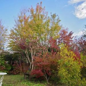 見頃となった庭の紅葉です!