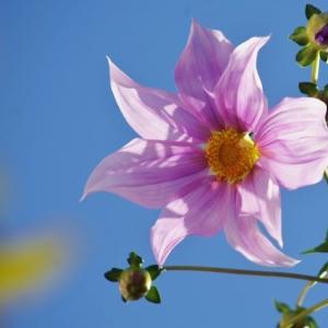 今日の庭の花 皇帝ダリアが咲き始めました!