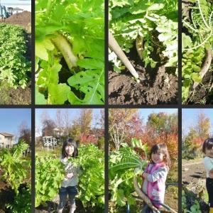 大根の収穫と堆肥作りです!