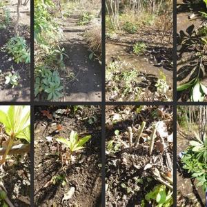 雑木の庭のクリスマスローズの古葉取りや施肥等をしました!