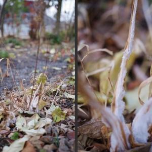 霜柱と霜 今朝の庭の様子です!