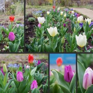 今日の庭の草花 チューリップ・ヒヤシンス・ムスカリ等が綺麗です!