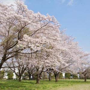 満開の桜を観てきました その2!