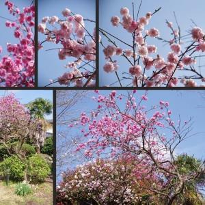 今日の庭の花木 花桃等が綺麗に咲いています!