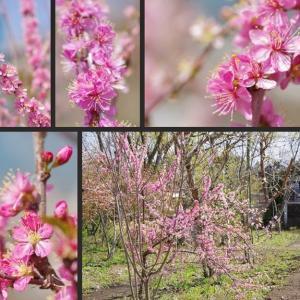 今日の庭の果樹の花です!