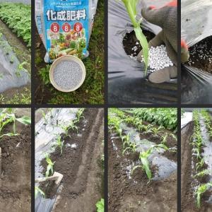 トウモロコシの追肥・土寄せやスナップエンドウの初収穫等をしました!
