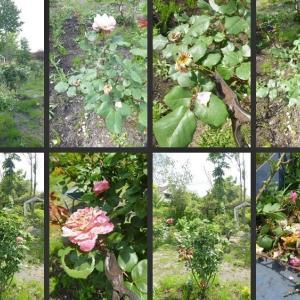 花柄摘みや植物の移植・除草等薔薇の庭の整備をしました!