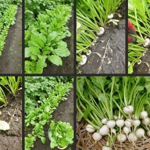 今日の野菜収穫とジャガイモへの土寄せをしました!