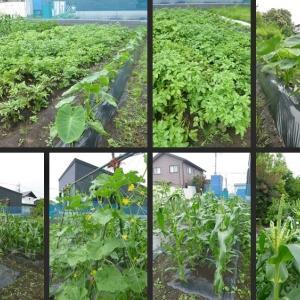 今日の畑と野菜の収穫です!