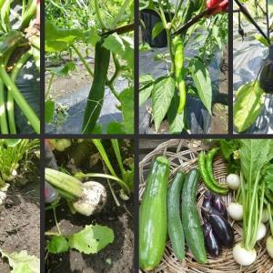 空芯菜・ピーマン・ジャガイモの初収穫とブロッコリー等の撤去をしました!