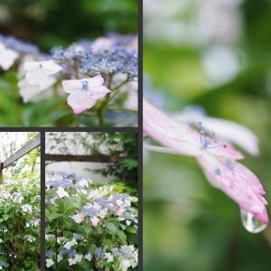 雨の中で咲く紫陽花 その2!