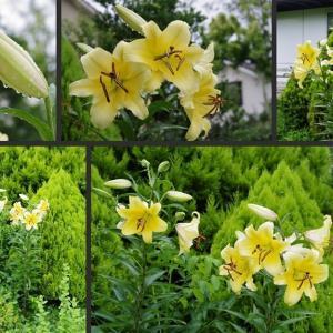 雨の庭に咲き始めた花達です!