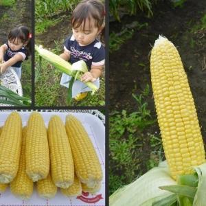 3歳の孫のトウモロコシ収穫体験です!
