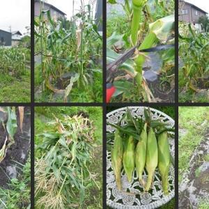 トウモロコシ・キュウリの撤去等畑の片付をしました!