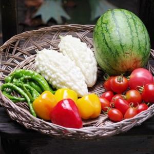 今日の野菜収穫です!