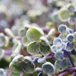 今日の庭の紫陽花です!