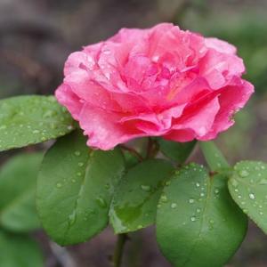 雨に濡れる庭の植物達です!