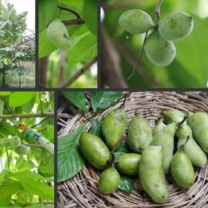ポポーの収穫と我が家の庭の果実です!