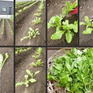 大根苗の2度目の間引きと里芋・さつま芋の初収穫をしました!