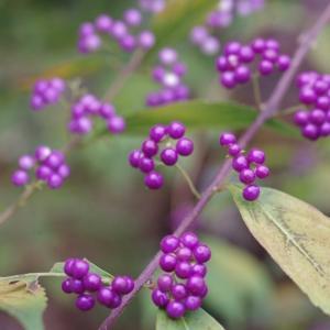 我が家の庭の紫色の植物達です!