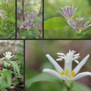 雑木の庭のホトトギスの花が綺麗に咲いています!