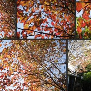 今日の庭の紅葉です!