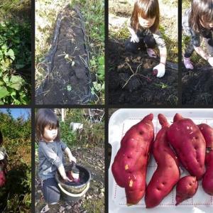 孫に手伝ってもらい芋類等野菜の収穫をしました。