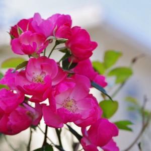 今日の庭の花 秋薔薇です その2!