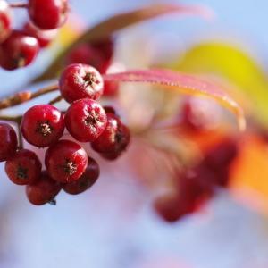 我が家の庭の秋色に色づく木の実達です!