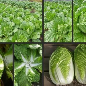 今日の野菜収穫 白菜の初収穫をしました!