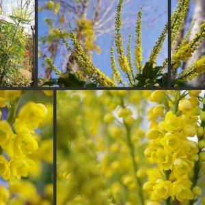 今日の庭の花 マホニアや皇帝ダリアが見頃となっています!
