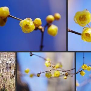 庭で冬から初春に咲く花 花木編!