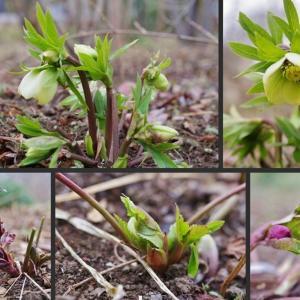 庭で冬から初春に咲く花 草花編!