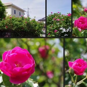 庭に新たに咲き始めた花達です!