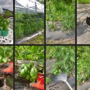 バジル苗の植付や空芯菜の間引きと野菜の収穫をしました!