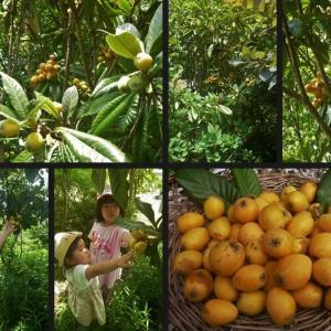 ビワや梅等果樹の収穫をしてジャムを作りました!