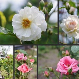 薔薇の庭の花 薔薇や見頃となった花達です!