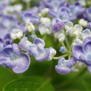 雨に濡れる庭の花達です!