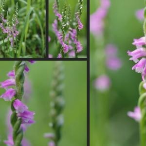ネジバナ等 野草の花を撮影しました!