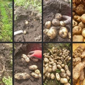 今日の野菜収穫 ジャガイモ等の初収穫をしました!