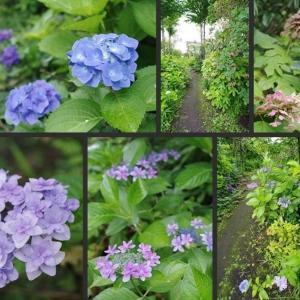 今日のボーダーガーデンと紫陽花達です!