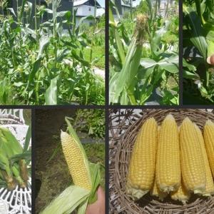 トウモロコシの初収穫と畑の片付をしました!