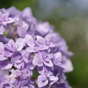 庭の紫陽花達をマクロレンズで撮影してみました!