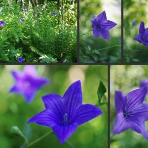 真夏の庭の涼し気な花達です!