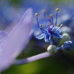 庭の紫陽花をマクロレンズで撮影しました。