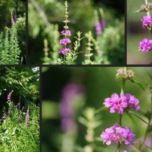 ミソハギやヤブラン等庭に咲き始めた花達です!