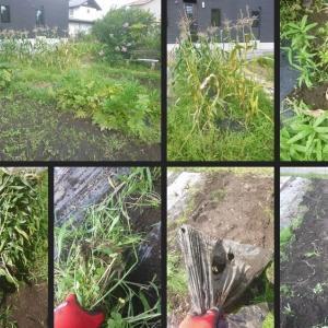 収穫の終わった野菜の畝の片付をしました!