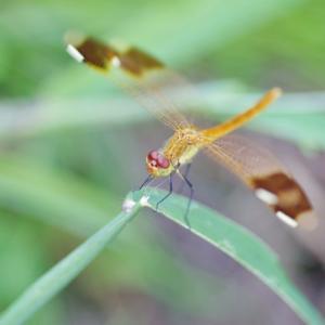 カメラで昆虫採集 庭のトンボとセミを撮りました!