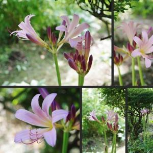 咲き始めた夏ズイセンと見頃となってきた花達です!
