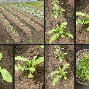 大根苗の間引きや里芋の試し掘り等をしました!